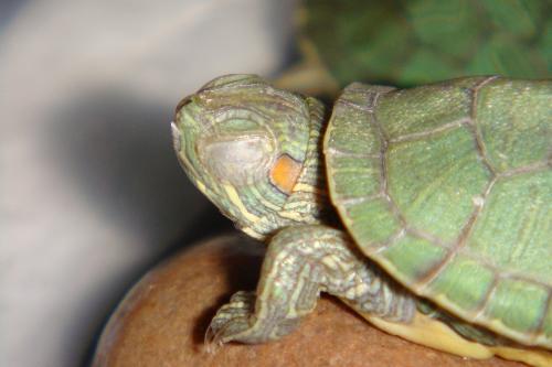 求助 乌龟得了白眼病怎么办